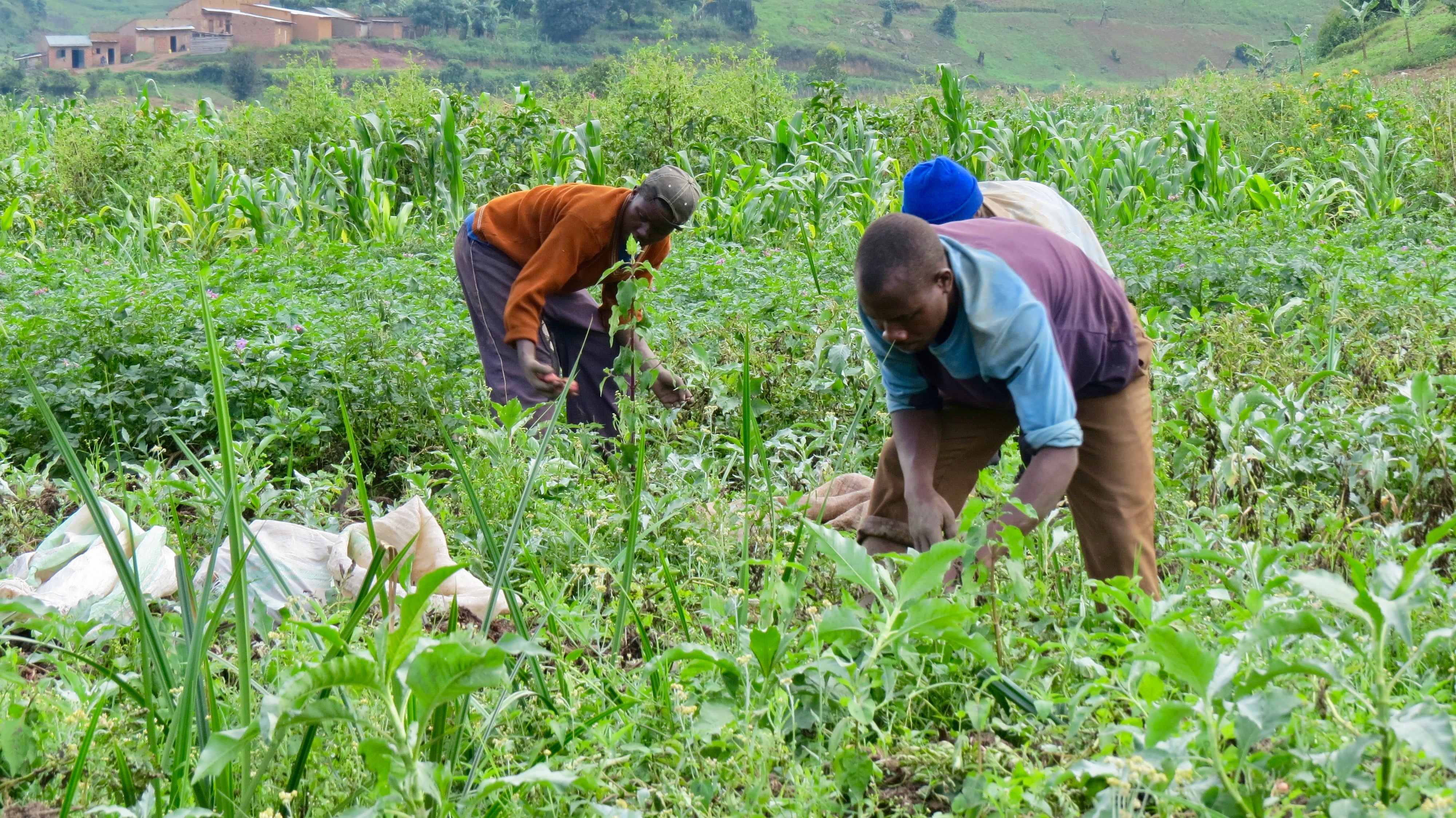 Decades of wise use pay off for a Kabale wetland