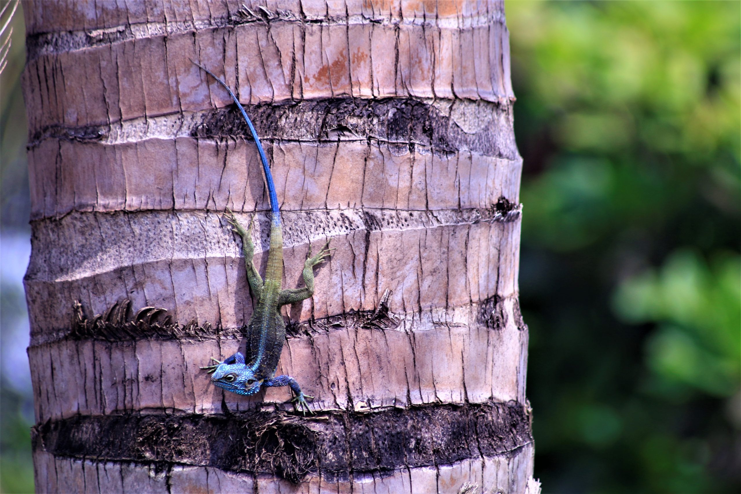 National parks are a home to several rare species such as this lizard taken in Queen Elizabeth National Park in Uganda. Photo by Fredrick Mugira